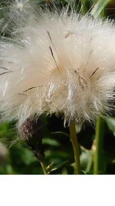 Medical Blogs, Dandelion, Allergies, Flowers, Plants, Seasons, Dandelions, Seasons Of The Year, Plant