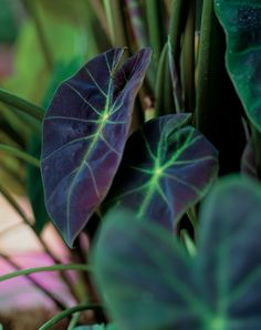 Illustris Elephant's Ear adds a tropical twist to the landscape in a way no other variety can. Its dark and dramatic foliage offsets any color it meets.