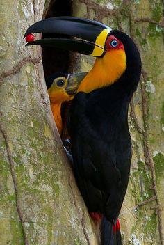 Toucan ariel - Channel-billed Toucan (ariel) - Tucán ariel - Tucano Ariel - Dottertukan ( Ramphastos vitellinus ariel ) with baby Pretty Birds, Beautiful Birds, Animals Beautiful, Cute Animals, Wild Animals, Kinds Of Birds, All Birds, Love Birds, Exotic Birds