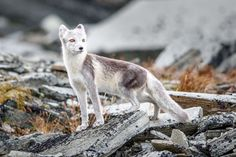 Un zorro ártico (Vulpes lagopus) se deja fotografiar en un parque nacional de Noruega (Christian Naumann, 2016)