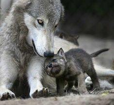 Mama Wolf coddles Baby pup.