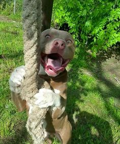 Pit Bull Puppies Best Dоg Breeds tо Reduce Your Dерrеѕѕіоn and Anxіеtу - You are alone. No worry. Here are Best Dоg Breeds tо Reduce Your Dерrеѕѕіоn and Anxiety. They give you companionship,love,and are always faithtful. Amstaff Terrier, Pitbull Terrier, Dogs Pitbull, Cute Dogs And Puppies, I Love Dogs, Doggies, Pit Bull Puppies, Cute Funny Animals, Cute Baby Animals