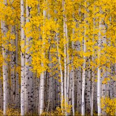 Silver birch trees - I'd love to have a silver birch garden..