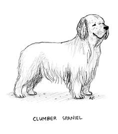 Dog a Day # 49 - Clumber Spaniel