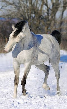 Grey in snow. Love the black points.