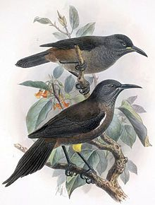 TIL that the last Kauaʻi ʻōʻō (now extinct) was male. It's song was recorded in 1987. It was recorded singing a mating call to a female that would never come. It died in 1987 as well.