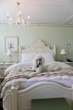 http://www.penelopeandbeatrice.com/journal/royal-dogs-poodles-history Darling #poddle #halfmoonbay Inn San Francisco Bay Area photographer
