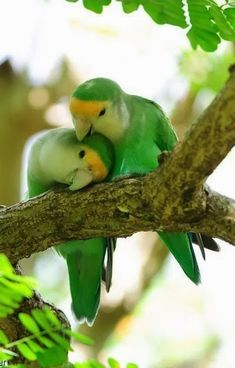 Peach-faced love birds.