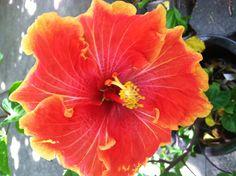 Gold trim red Hibiscus
