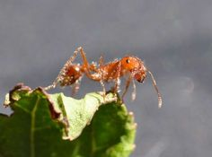 WHAT RESCUE ROBOTS CAN LEARN FROM FIRE ANTS