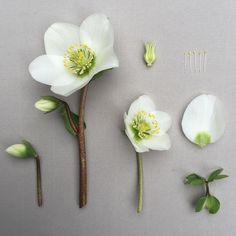 Very dear friends of mine were married yesterday, and it gave me much joy creating the brides bouquet using these pristine white Hellebores from Fondant Flowers, Clay Flowers, Sugar Flowers, Fabric Flowers, Paper Flowers, Flower Anatomy, Flower Structure, Gum Paste Flowers, Arte Floral