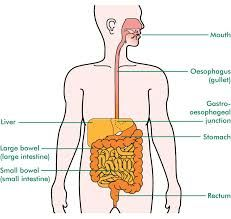 Image result for oesophagus'