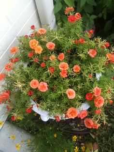 Rose moss loves neglect and are so beuatiful, even during the drougt!