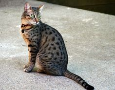 Today, let's learn some things about the devoted #Egyptian_Mau cats! http://www.sweetiekitty.com/cat-breed/egyptian-mau/  #cat #kitty #catlife