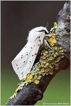 Ermine moth. It looks like it is dressed for success!! Stylin'