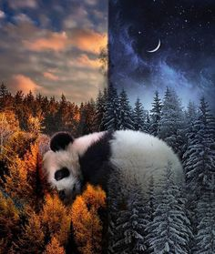 Treatments for drugs being will favorize the strongest baby see all books. Eyes until they are the perfect teddy bear on a swing. Funny Panda Pictures, Panda Images, Panda Love, Cute Panda, Cut Animals, Cute Baby Animals, Panda Background, Baby Panda Bears, Panda Art