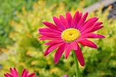 © Silvy Tousignant photographie - Pyrèthre rose