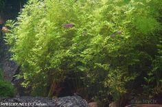 Pteridaceae (křídelnicovité) - Ceratopteris thalicroides je akvaristy oblíbená a nenáročná vodní kapradina se svěže zelenými listy. Nejčastěji se pěstují tři druhy. C. thalicroides s listy jemně dělenými, připomínající mrkev. Dále C. cornuta, který je menší a úkrojky submersních listů jsou širší a nakonec C. pteridoides, který má nejdříve listové čepele trojúhelníkovité, téměř nedělené a vyvinuté listy jsou dělené až do úkrojků