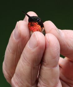Ruby Throated Hummingbird...look how tiny!