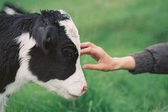 Warm bony head, wet nose, rough tongue... nothing like touching a sweet little calf!!!!