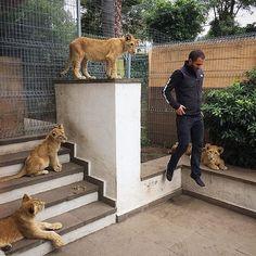 Cool pic of papa bear levitating  pic from @tinitun1 ✌ @blackjaguarwhitetiger #papabear #saveourplanet #savehabitat #saveanimals #savelions #behuman #notpets #nosonmascotas #bjwt #lion #rescuedlions #boycottcircus #blackjaguarwhitetiger