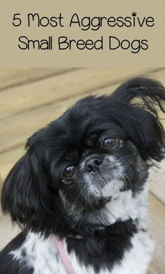 5 Most Aggressive Small Breed Dogs: Because Small Bites are Just as Bad as Big Ones! – DogVills Small breed dogs can be just as aggressive as large breed ones. Here's a list of some of the most aggressive small breed dogs out there. Small Dog Breeds, Small Dogs, Dog Breeds List Of, Best Dog Breeds, Dog Anxiety, Dog Signs, Dog Behavior, Dog Names, Dogs And Puppies