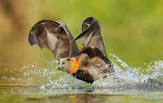 This bat isn't fishing. Flying foxes do not eat meat or fish.