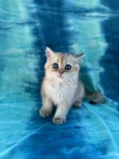 Kitten Cart Mart is fully registered and offers a comprehensive list of all the breeders who are located across the USA. If you are looking for Scottish fold kittens. #ScottishfoldKittens #BuyScottishfold Buy A Kitten, Happy Kitten, Kitten For Sale, Common Cat Breeds, Animal Breeding, Event Security, Scottish Fold Kittens, Cat Body, Kinds Of Cats