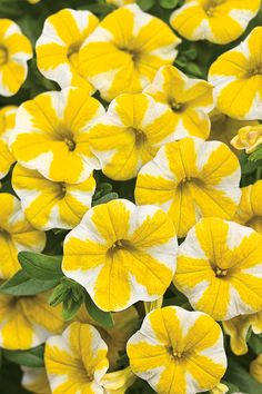 "New for 2013 Superbells® Lemon Slice Calibrachoa, a hybrid. Zones 9a-11b. Annual. Sun. A showy plant that grows 6""-11"" high and to 24"" wide and resembles the petunia. Ideal for containers and beds with good drainage. Blooms til frost."