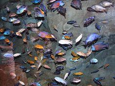 Malawi cichlid display tank in the Atlanta Aquarium