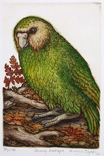 The Stephen Fry series on endangered animals made me slightly kakapo obsessed. I like this guy. Another Mary Taylor. New Zealand Art, Nz Art, Rare Birds, Art N Craft, Bird Prints, Fine Art Gallery, Bird Art, Beautiful Birds, Painting & Drawing