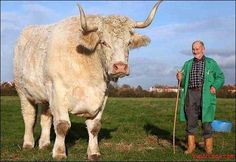 Field Marshall is the largest bull in the world, measuring an incredible 6 ft. 5 in. tall and weighing more than 3,500 lbs.