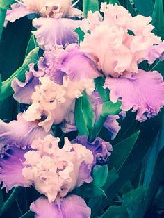 Beautiful Iris in Bloom