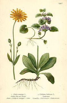 ARNIKA GUNDERMANN Botanik Farbdruck Antiker Druck Antique Botanical Print