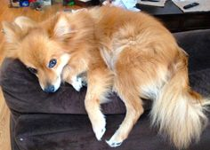 Adopted! Here's Johnny!!  Johnny is a 9 pound, 3 year old Pomeranian.  Johnny is housetrained, has been neutered and is up to date with his shots.Johnny currently is in a home with another dog and is not doing well, so it would be best if he were an only...
