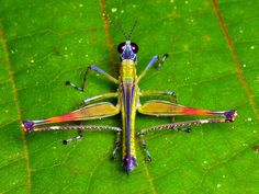 Monkey hopper, Homeomastax sp., Eumastacidae