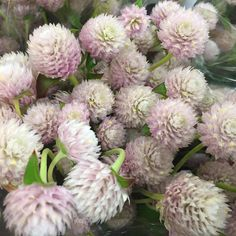 Gomphrena looks wonderful in light pink, perfect for wedding work!  #potomacfloralwholesale #wholesaleflowers #freshflowers #flowers #gomphrena
