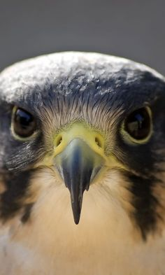 Peregrine Falcon - can power dive up to one of the fastest birds in the world. All Birds, Birds Of Prey, Love Birds, Beautiful Birds, Animals Beautiful, Regard Animal, Animals And Pets, Cute Animals, Funny Animals
