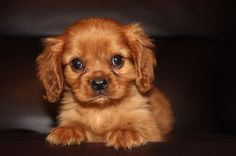 Ruby Cavalier King Charles Spaniel Puppies - Welcome to Ruby and Black Cavaliers