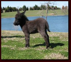 miniature show donkey. yup...they are for sale!