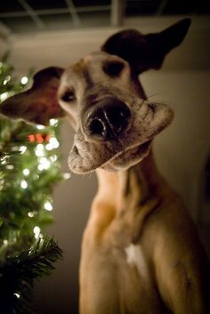 A dog is always there to help  when you fall from putting the top on the Christmas tree.  And this is the face you'll see...