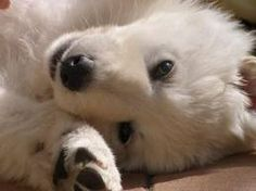 berger blanc suisse dog photo | Puppies - White Melodie Kennel - Berger Blanc Suisse