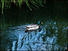 Duck at Schwarzsee lake