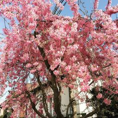 #spring#april#tree#flowers#pink#nitra#nature#sunnyday  by romca1015