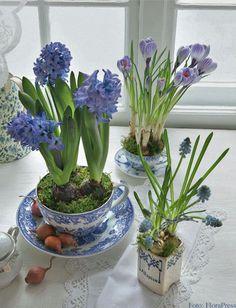 Hyazinthen, Krokus und Traubenhyazinthen in blauen Tassen (Foto: FloraPress)