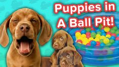 Ball Pit Puppies & Goats Playing with Cows!! // Funny Animal Compilation… #funnypetvideos #funnyanimals