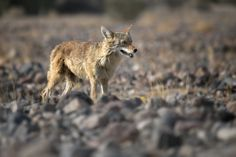 Coyotte in Death Valley National Park