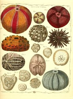 The genera vermium exemplified by various specimens of the animals contained in the orders of the Intestina et Mollusca Linnaei :. London :Printed for the author by James Dixwell 1783-1788