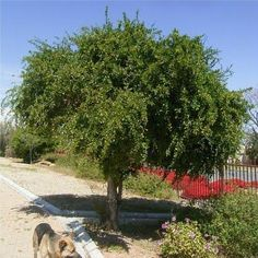 Fruit & Flowering - 5 Dovyalis caffra - Kei-apple Tree Seeds - Delicious Fruits - Indigenous to South Africa was listed for R9.75 on 21 Nov at 14:03 by Seeds and All in Port Elizabeth (ID:164699306)