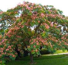 I love Mimosa Trees. I wish I had a yard full. They need to make air fresheners that smell like these trees.